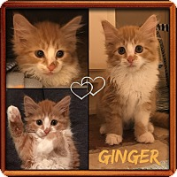 Adopt A Pet :: Ginger - Jeffersonville, IN