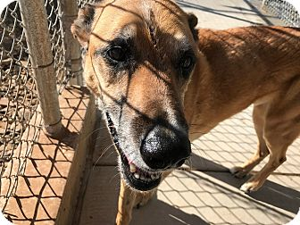 German Shepherd Dog Mix Dog for adoption in Edgewood, New Mexico - Kyle