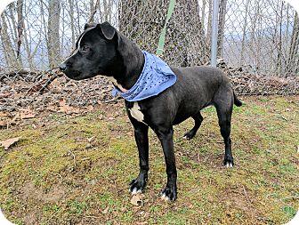 Terrier (Unknown Type, Medium)/Labrador Retriever Mix Dog for adoption in Sylva, North Carolina - Dunk