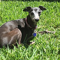 Italian Greyhound Dog for adoption in Argyle, Texas - Flip Spurs in Montgomery, TX