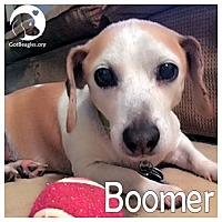 Adopt A Pet :: Boomer - Chicago, IL