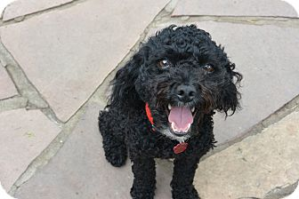 Poodle (Miniature) Mix Dog for adoption in Denver, Colorado - Jett