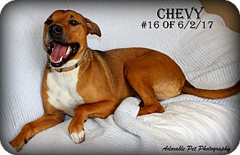 Shepherd (Unknown Type) Mix Dog for adoption in Gaylord, Michigan - Chevy