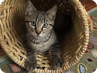 Domestic Shorthair Kitten for adoption in Cumberland, Maine - Kitten Sammie
