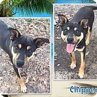 Adopt A Pet :: Chipper - Ringwood, NJ