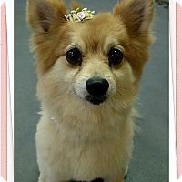 Adopt A Pet :: Miss Foxy - Tavares, FL
