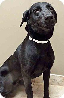 Labrador Retriever Mix Dog for adoption in Oswego, Illinois - ADOPTED!!!   Hope