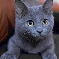 Adopt A Pet :: Russian Blue Baby - Brooklyn, NY