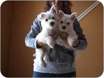 Westie, West Highland White Terrier Puppy for adoption in Algonquin, Illinois - Winston