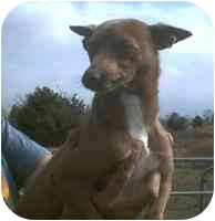 Chihuahua/Miniature Pinscher Mix Dog for adoption in Carrollton, Texas - Rocket