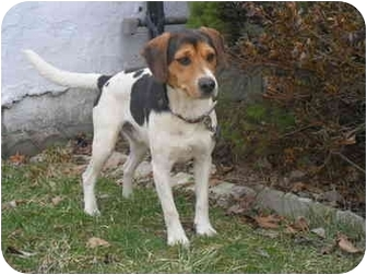 Beagle/Terrier (Unknown Type, Small) Mix Dog for adoption in Covington, Kentucky - Chandler