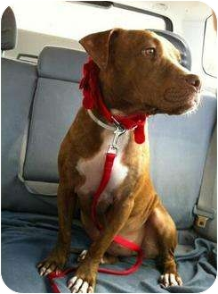 Pit Bull Terrier/American Bulldog Mix Puppy for adoption in Lake Worth, Florida - Maddison