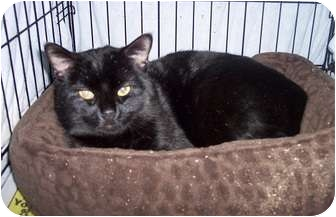 Domestic Shorthair Cat for adoption in North Haven, Connecticut - Jefferson