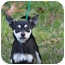 Photo 1 - Chihuahua Mix Dog for adoption in McKinney, Texas - Tanom
