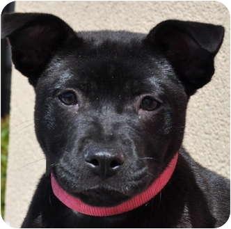 Labrador Retriever/Shar Pei Mix Puppy for adoption in Atlanta, Georgia - Athena