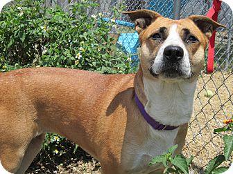 Shepherd (Unknown Type) Mix Dog for adoption in Bradenton, Florida - Abby