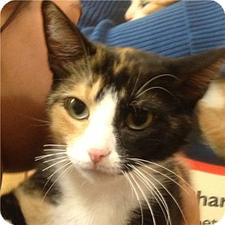 Domestic Shorthair Cat for adoption in Weatherford, Texas - Callie