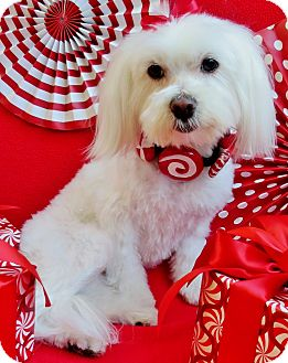 Maltese/Poodle (Miniature) Mix Dog for adoption in Irvine, California - Candy