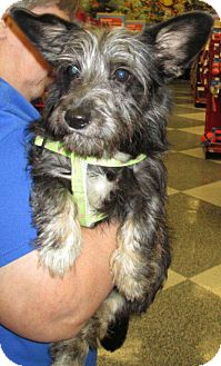 Terrier (Unknown Type, Small) Mix Dog for adoption in Humble, Texas - Sophie