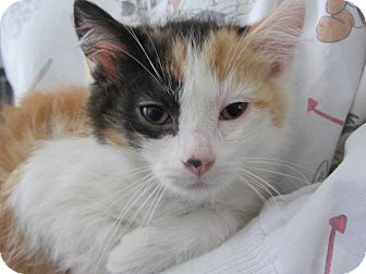 Domestic Mediumhair Kitten for adoption in Ridgway, Colorado - Gemma