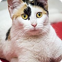 Adopt A Pet :: Beignet - Chicago, IL