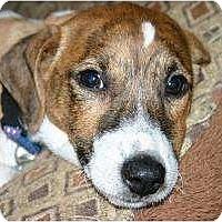 Adopt A Pet :: Valentino - Westbrook, CT