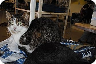 Domestic Shorthair Cat for adoption in Bay City, Michigan - Mystic