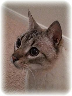 Siamese Cat for adoption in San Marcos, Texas - Radar