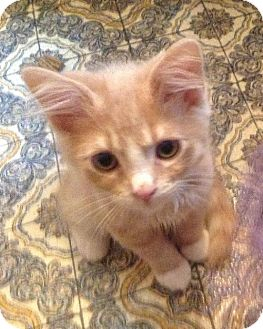 Domestic Mediumhair Kitten for adoption in HILLSBORO, Oregon - Murdock
