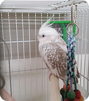 Cockatiel for adoption in St. Louis, Missouri - Itsy