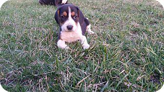 Beagle/Basset Hound Mix Puppy for adoption in China, Michigan - Vegas - PENDING