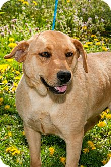 Labrador Retriever Mix Dog for adoption in Pittsburg, Kansas - Carmel