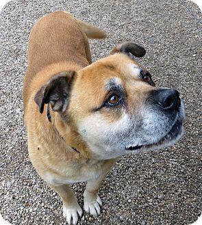 Shepherd (Unknown Type)/Labrador Retriever Mix Dog for adoption in Marseilles, Illinois - BG (Big Guy)