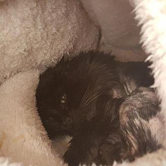Domestic Longhair Cat for adoption in Denver, Colorado - Sundance