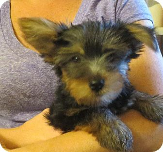 Yorkie, Yorkshire Terrier Puppy for adoption in Salem, New Hampshire - Lyle