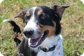 Border Collie Mix Puppy for adoption in Kittery, Maine - Hero