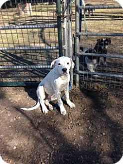 Dalmatian/German Shorthaired Pointer Mix Puppy for adoption in Burleson, Texas - Dustin