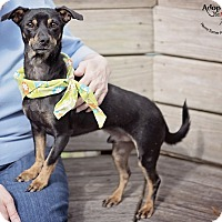 Adopt A Pet :: Major - Houston, TX