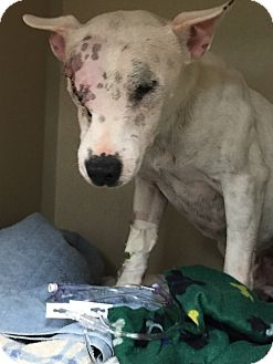 Bull Terrier Mix Dog for adoption in Des Moines, Iowa - Rolex