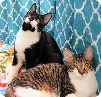 American Bobtail Cat for adoption in Houston, Texas - Farrah
