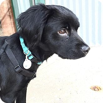Spaniel (Unknown Type)/Cocker Spaniel Mix Dog for adoption in Palatine, Illinois - Lucy