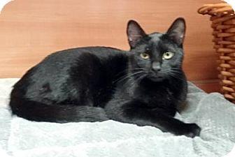 Domestic Shorthair Cat for adoption in Gloucester, Massachusetts - Blackie