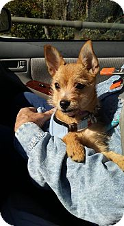 Yorkie, Yorkshire Terrier Mix Puppy for adoption in Sugar Grove, Illinois - Pammie