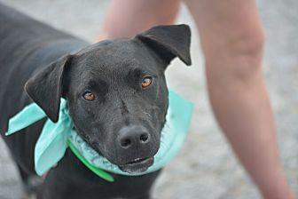 Labrador Retriever/Pit Bull Terrier Mix Puppy for adoption in White Settlement, Texas - Tammy