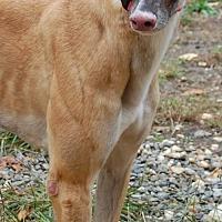 Greyhound Dog for adoption in Cherry Hill, New Jersey - Tammi Wynette 'Pinky'