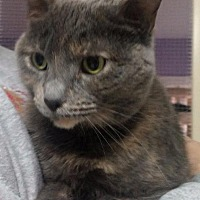 Domestic Shorthair Cat for adoption in Port Clinton, Ohio - Crystal