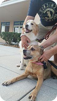 Golden Retriever/Border Collie Mix Dog for adoption in Tampa, Florida - Macie