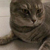 Domestic Shorthair Cat for adoption in New York, New York - Arabelle