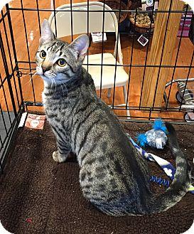 Domestic Shorthair Kitten for adoption in Horsham, Pennsylvania - Paddy