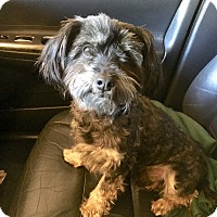Adopt A Pet :: Kobe - McKinney, TX